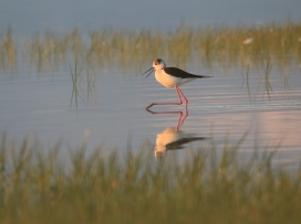 Uzunbacak - Black-winged Stilt / Himantopus himantopus
