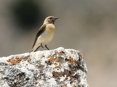 Kuyrukkakan - Northern Wheatear / Oenanthe oenanthe