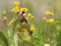 Saka - European Goldfinch / Carduelis carduelis