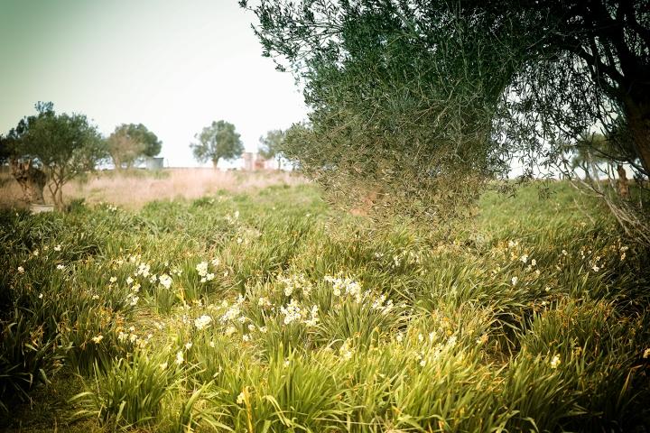 Çiçek Adası'nda Nergisler