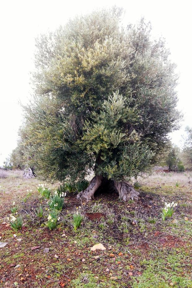 Zeytin Ağacı ve Nergis