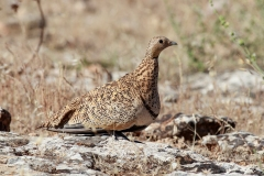 Bağırtlak - Black-bellied Sandgrouse / Pterocles orientalis