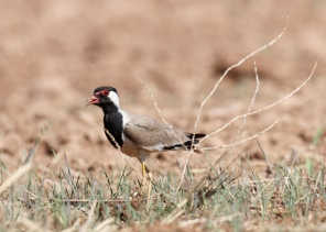 Büyük kızkuşu - Red-wattled Lapwing / Vanellus indicus