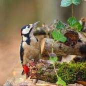 Orman Alaca Ağaçkakanı - Great Spotted Woodpecker / Dendrocopos major