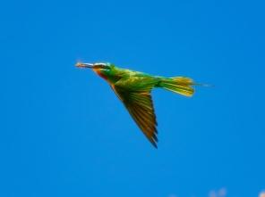 Yeşil arıkuşu - Green-cheeked Bee-eater / Merops persicus